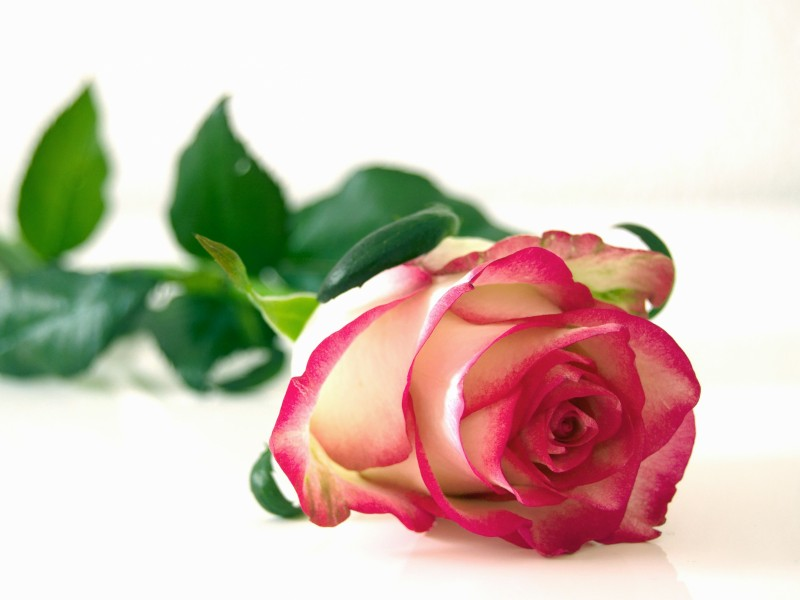 Download Pink and White Rose Flower HD wallpaper. Click Visit page Button for More Images.