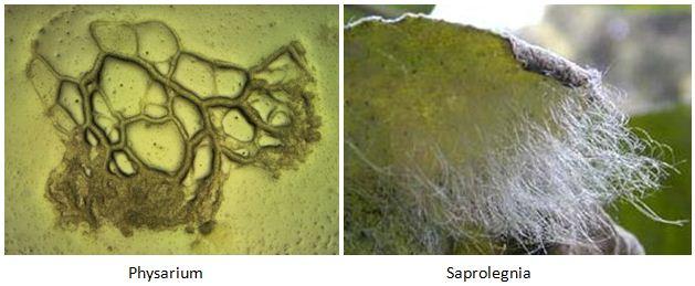 Contoh Protista yang memiliki ciri-ciri seperti jamur (fungi)