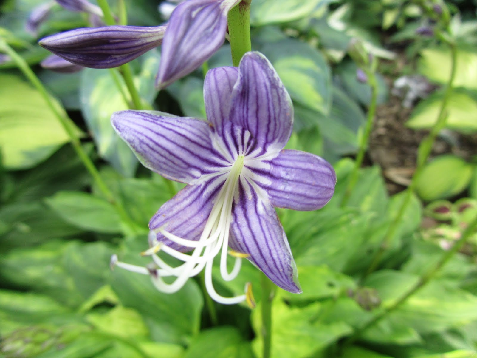 Cheesehead Gardening: The Often Overlooked Hosta Flower