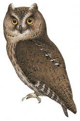 Banggai Scops Owl