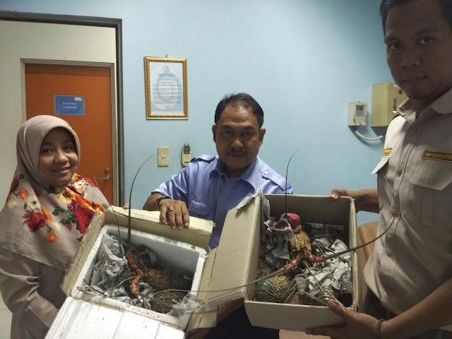 BKIPM Kelas II Palembang Lakukan Penahanan Komoditi Lobster Ilegal
