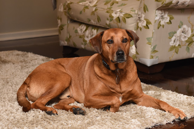 Dog ridgeback cross pets in strata