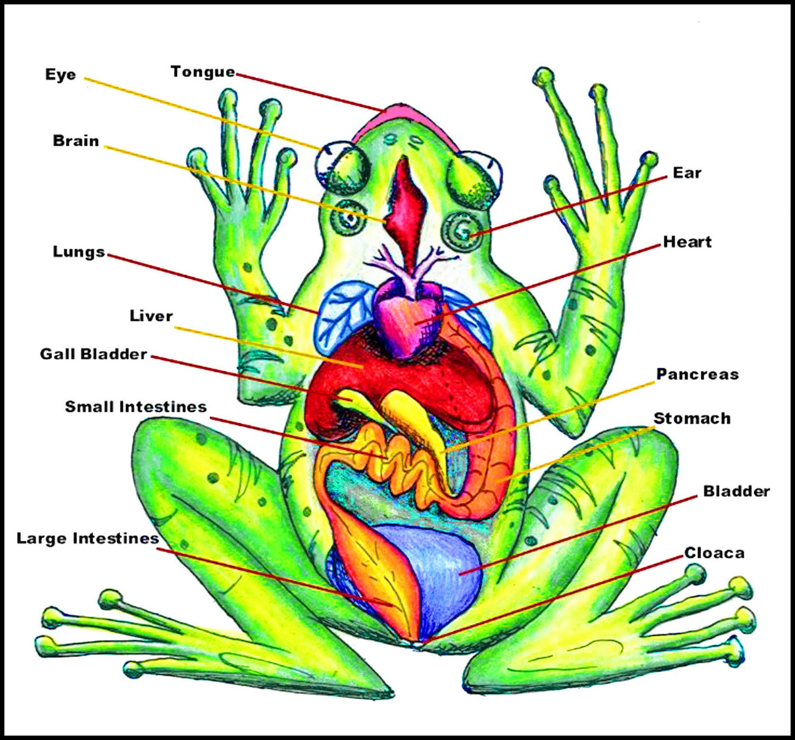 Frog Hopper Glen Anatomy Of A Frog Diagram
