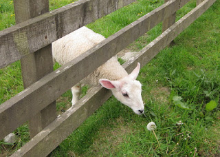 Lamb stretching its neck through the fence toward a head of dandelion seeds, outside Dumfries, Scotland