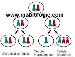 La trisomie 21 est une conséquence d'un non disjonction des chromosomes homologues
