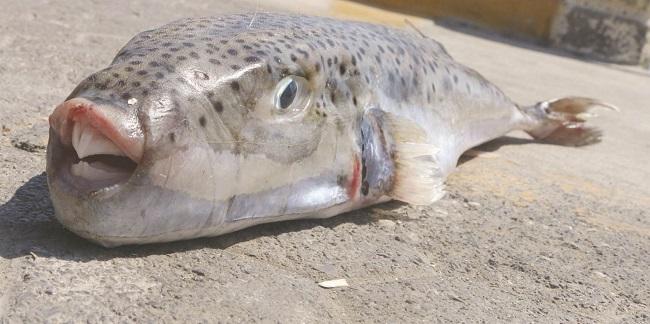 Λαγοκέφαλος δάγκωσε λουόμενο σε παραλία της Καρπάθου  (VIDEO)