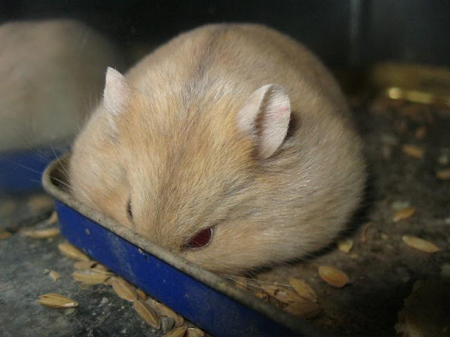 mua-ban-chuot-hamster-soc-socola-trang-tra-sua-23