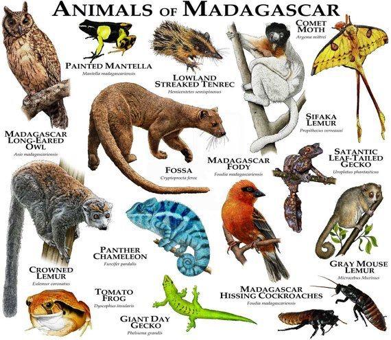 Animais de Madagascar