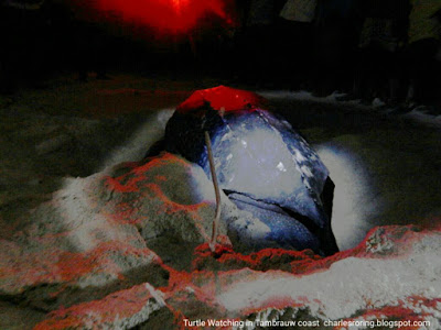 Leatherback turtle was laying eggs at the beach of Tambrauw regency