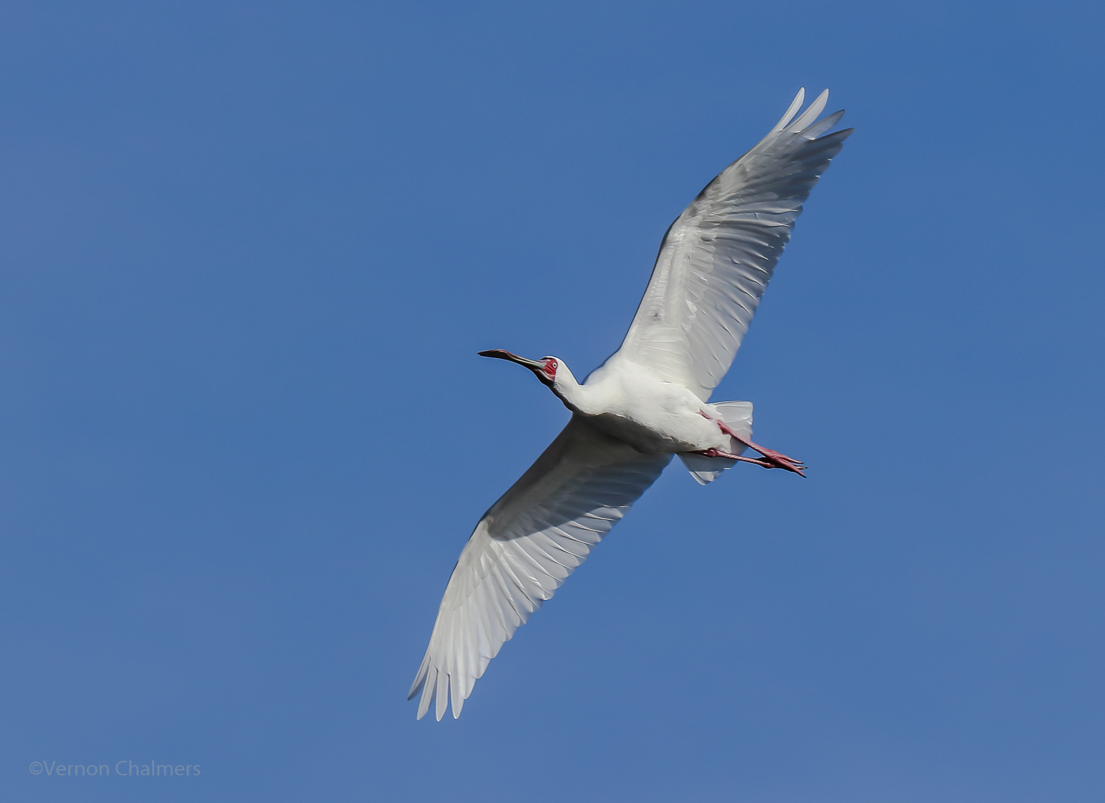 Vernon Chalmers Photography: Canon EOS 80D: Birds in Flight Photography