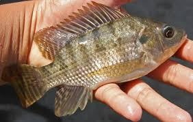 Analisa usaha budidaya ikan nila untuk memulai bisnis pembesaran nila