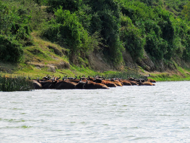 Herd of African Buffalo on the Kazinga Channel in Southwest Uganda