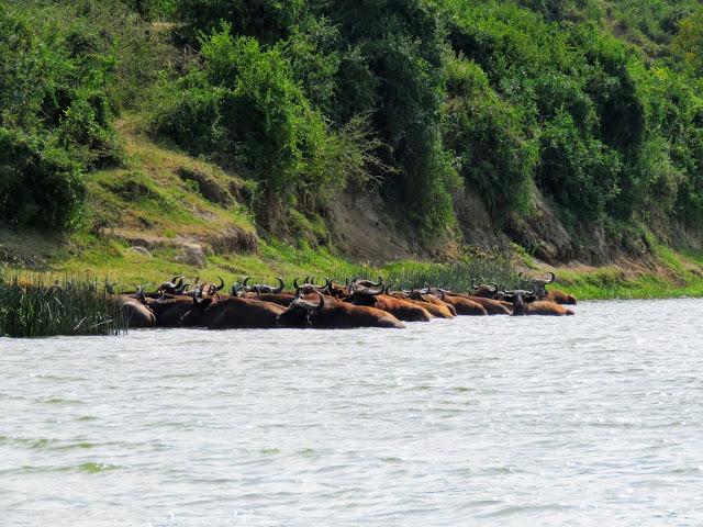 Herd of African Buffalo on the Kazinga Channel in Southwest Uganda