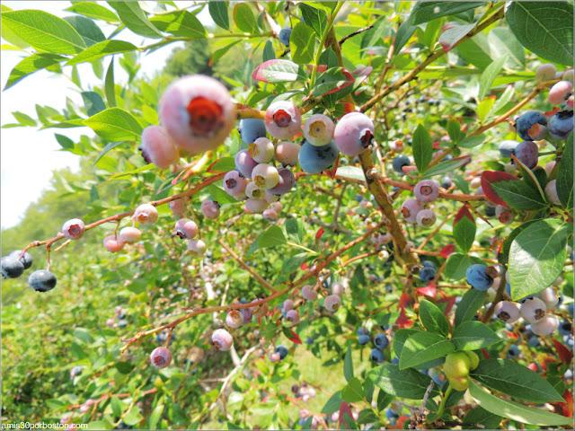 Cider Hill Farm: Plantación de Arándanos