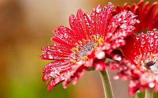 Imagenes de Amor, Flores Rojas