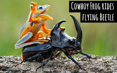 Watch cowboy frog enjoy riding a flying beetle in his own little rodeo via geniushowto.blogspot.com wildlife photos and videos