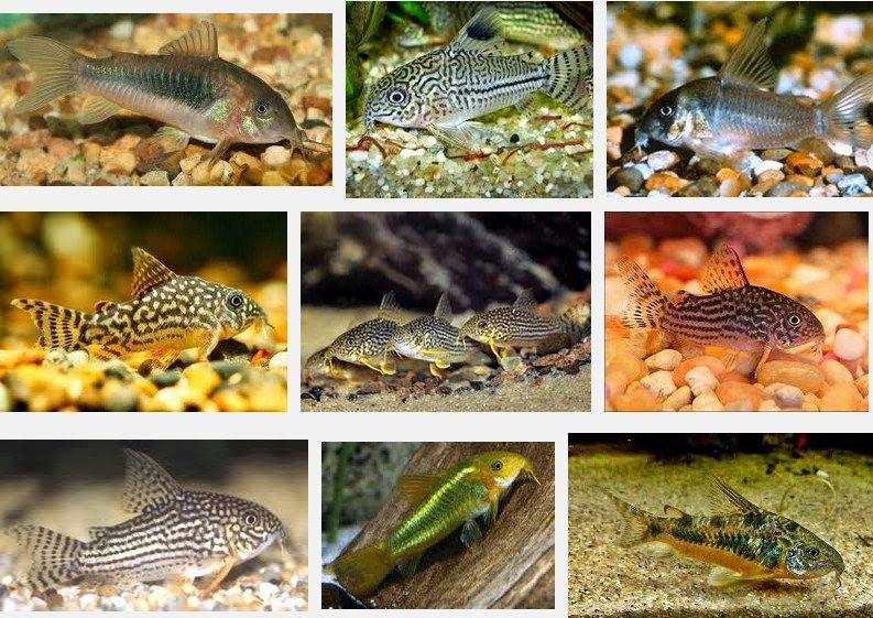 Klasifikasi Ikan Corydoras serta makanan ikan corydoras
