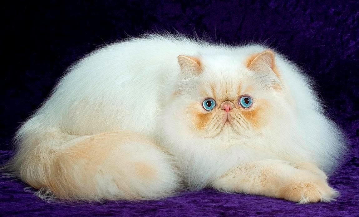 Free Hd Desktop Wallpapers Download White Persian Cat Wallpapers