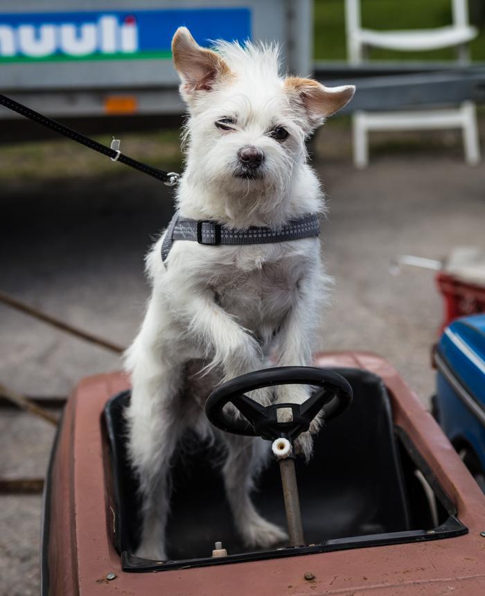 koira ajaa autoa leluauto valkoinen koira ratissa