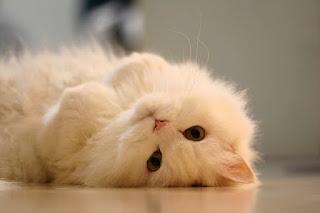 5 Isyarat Kucing yang di Tunjukan kepada Manusia