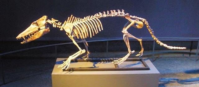 pakicetus ewolucja