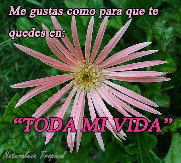 Me gustas como para que te quedes en toda mi vida. Flor Asteraceae