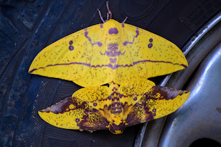 Yellow Moth's Mating