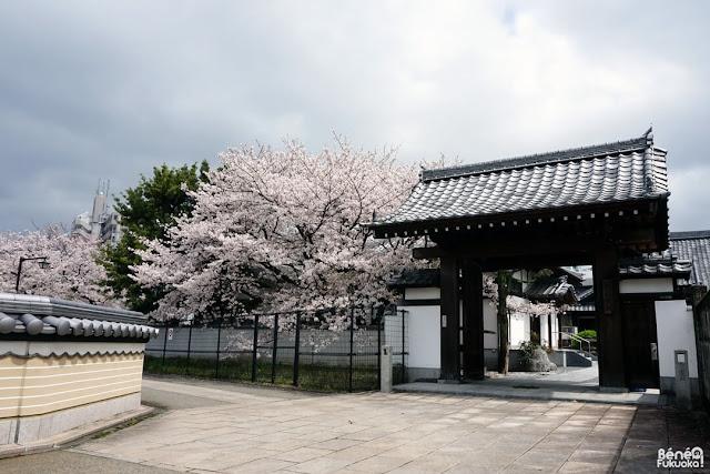 節信院の桜、福岡