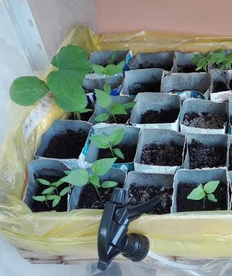 I peperoni hanno foglie lisce che crescendo si allargano un pochino alla base.