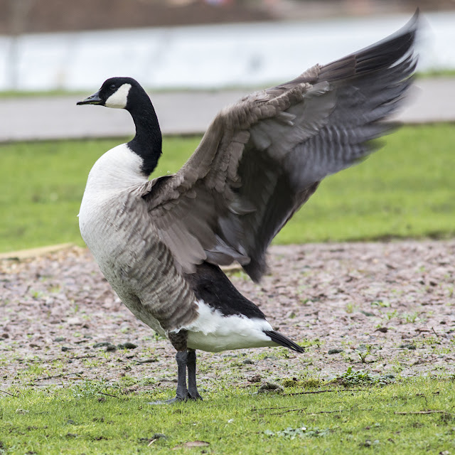 Canada Goose Wings Back
