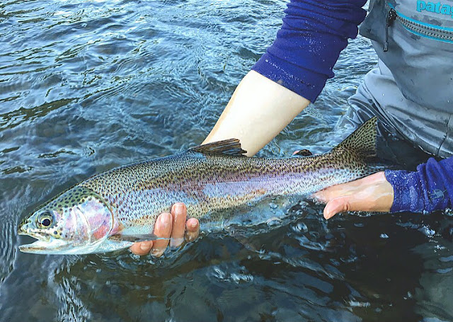 The beauty of these Delaware rainbow trout just blows me away. Another stunner!