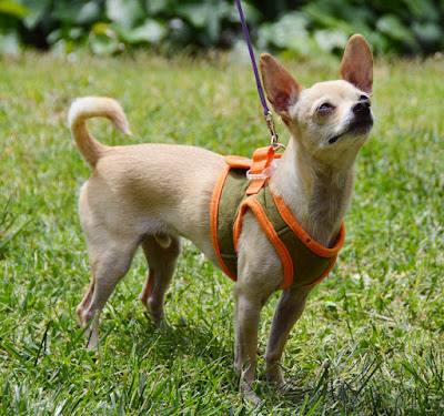 SimplyShee padded dog harness