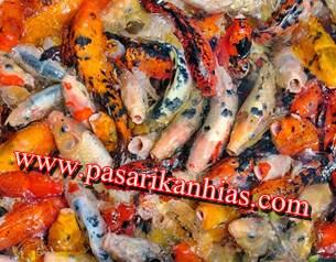 Harga Terbaru Bibit Ikan Koi Di Pasaran
