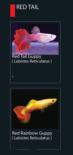 35. Red Tail Guppy Nama latin Lebistes Reticulatus  36. Red Rainbow Guppy  Nama latin Lebistes Reticulatus