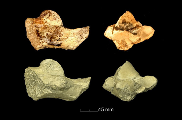 New study reveals the heel bone from our fossil relative is closer related to gorillas