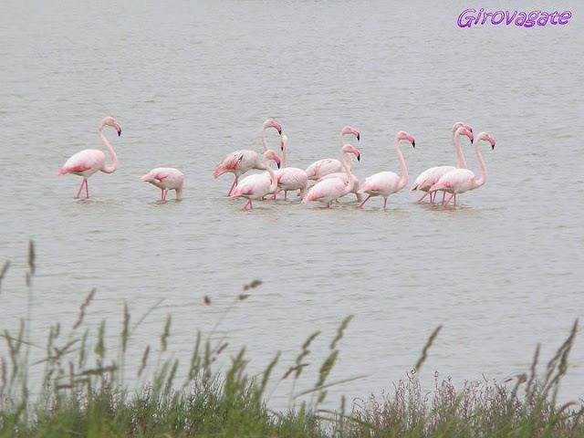 fenicotteri rosa Valle Comacchio