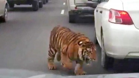 Escaped Tiger Causes Panic on Busy Highway After it Was Spotted Moving Between Cars (Video)
