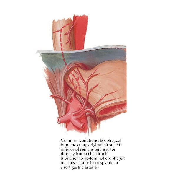 Arteries of Esophagus: Variations Anatomy
