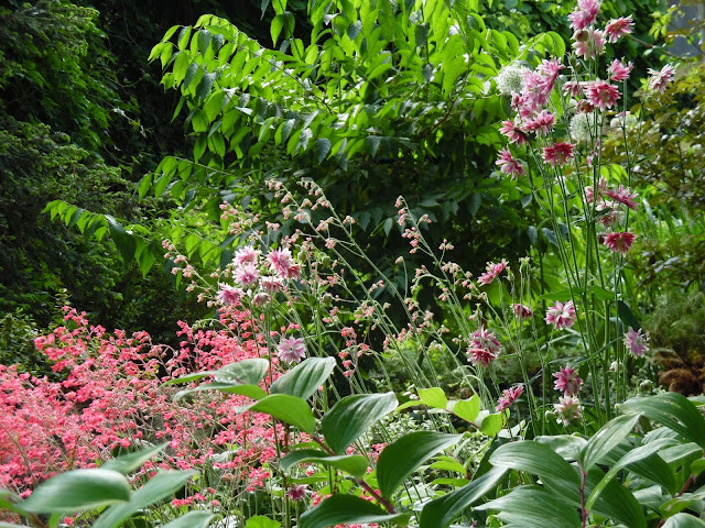 żurawki, orliki i suchodrzew Maacka na rabacie leśnej