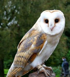 Harga burung hantu barn owl