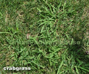 The Grass Rhizome Uncle S Playbook For Lawn Coaches