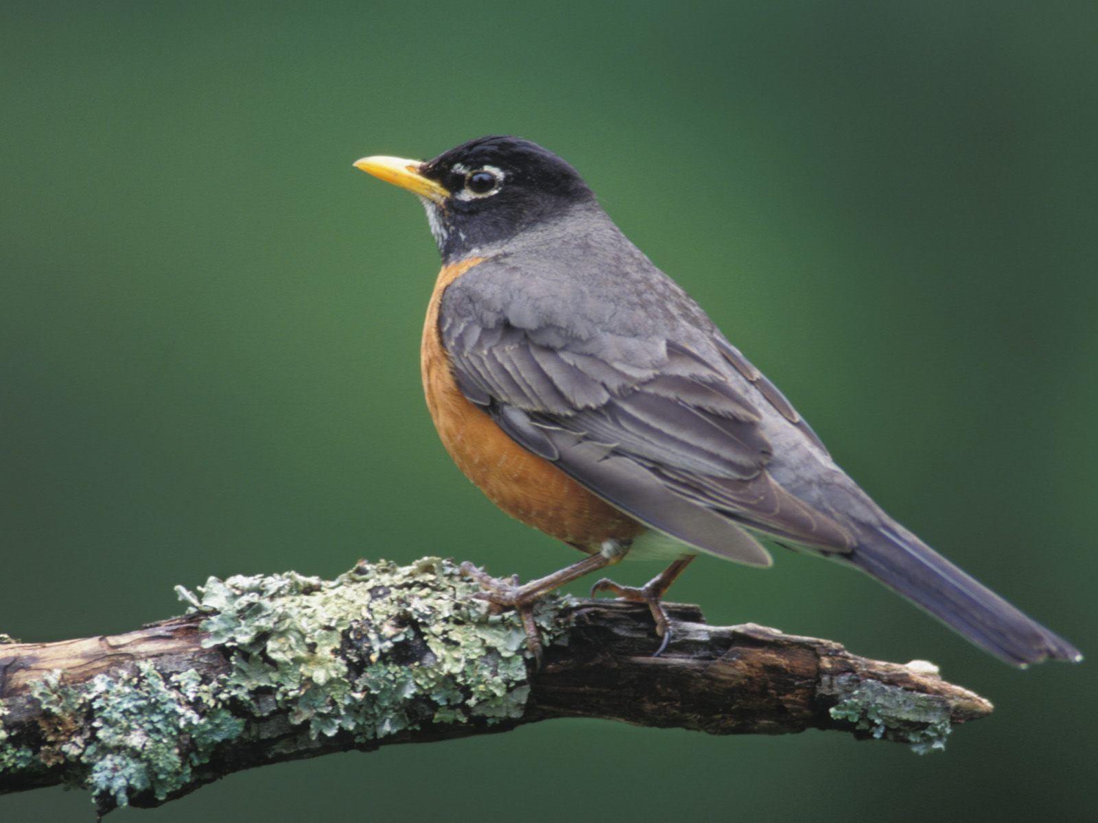Robin | Animal Wildlife