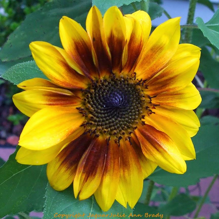 Pretty Yellow-Orange-Brown Sunflower Blossom