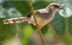 Cara Mengukur Kualitas Suara Burung Kontes