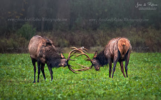 The Rut Elk watch visit Pennsylvania Elk Country Benzette PA