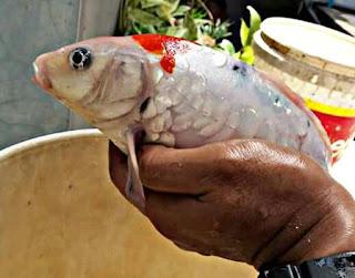 Penyakit ikan koi dan cara mengobatinya