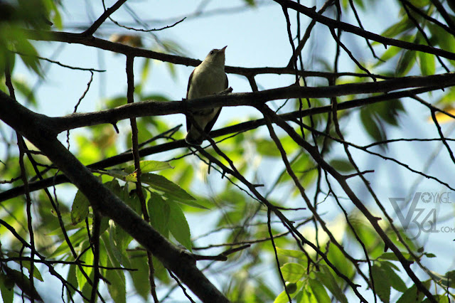 Pale-billed flowerpecker/Tickell's flowerpecker (8 cm) - Ranganathittu