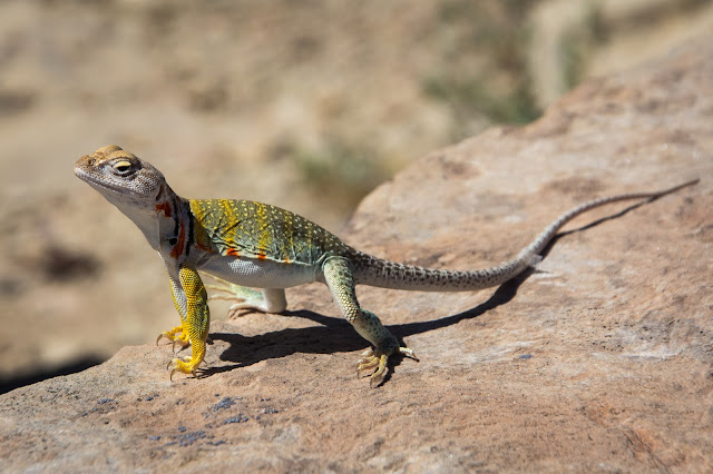 Collared Lizard, Petrified Forest National Park