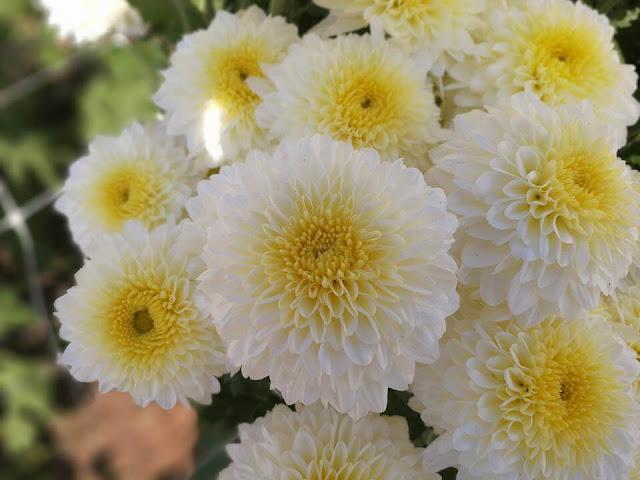 สวนนิตยา ดอกเบญจมาศ กันทรลักษ์
