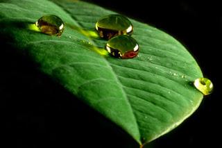 Foto bem próxima de uma folha de uma planta, porém algumas gotas de água rolando por cima, não molhando a planta. Como um repelente de água.